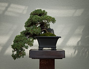 Nana Prints - Dwarf Japanese Garden Juniper Print by Bill Cannon