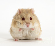 Hamster Prints - Dwarf Russian Hamster Print by Mark Taylor