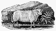 Bewick Framed Prints - DWARF SHEEP, c1800 Framed Print by Granger