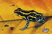 French Guiana Prints - Dyeing Poison Frog Dendrobates Print by SA Team