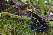 Mar2613 Art - Dyeing Poison Frog In Rainforest Surinam by Piotr Naskrecki