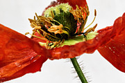 Bob Daalder Art - Dying Poppy... by Bob Daalder
