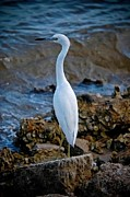 Clams Framed Prints - Eager Egret Framed Print by DigiArt Diaries by Vicky Browning