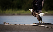 Alaska Wildlife Photos - Eagle at Take Off by Thomas Payer