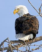 American Bald Eagle Photos - Eagle Eye by Larry Ricker