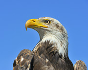 Eagle-eye Metal Prints - Eagle Eye Metal Print by Tony Beck