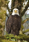 American Bald Eagle Photos - Eagle Eyes by Angie Vogel