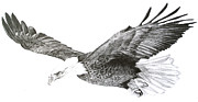 Wren Drawings - Eagle in Flight by Sue  Miles