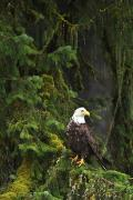 Eagle Metal Prints - Eagle In The Woods Metal Print by Richard Wear