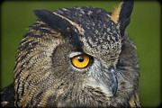 Nature Study Photo Prints - Eagle Owl 2 Print by Clare Bambers