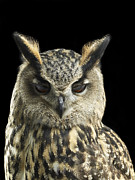 Owl Eyes Art - Eagle Owl Close Up With His Eyes Looking Down by Michael Blann