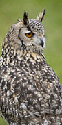 Backwards Posters - Eagle Owl IV Poster by Chris Dutton