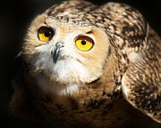 Eagle Owl Print by Paulette  Thomas