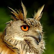 Featured Photos - Eagle Owl by Photodream Art