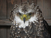 Sandy Owens - Eagle Owl