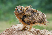 Big Man Photo Originals - Eagle Owl by Zahoor Salmi