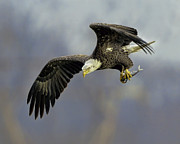 Nature Photo Posters - Eagle Power Dive Poster by William Jobes