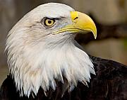 National Symbol Prints - Eagle Power Print by William Jobes