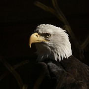 Eagle Photos - Eagle Profile 2 by Ernie Echols