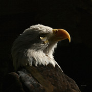 Eagle Framed Prints - Eagle Profile 4 Framed Print by Ernie Echols