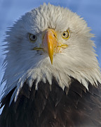 Alaska Greeting Cards Posters - Eagle protrait from front Poster by Sasse Photo