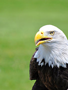 Eagle Metal Prints - Eagle Speak Metal Print by Emily Stauring