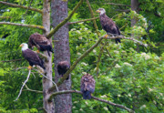 Birds Of Prey Photos - Eagle Tree by Mike  Dawson