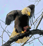 American Eagle Paintings - Eagle with Dinner by Clarence Alford