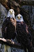 Eagles Digital Art - Eagles by Edward Sobuta