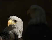 Eagle Photos - Eagles by Ernie Echols