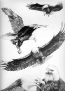 Canadian Art Drawings Drawings Posters - Eagles Gathering Poster by Bob Patterson