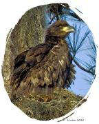 Eaglet Framed Prints - Eaglet In Nest Framed Print by Larry Linton