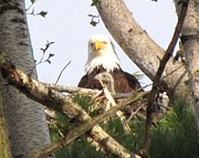 Symbolize Posters - Eaglet looking out with mother Bald Eagle Poster by Mitch Spillane