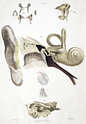Sense Prints - Ear Anatomy Print by Sheila Terry