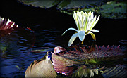 Japanese Village Prints - Early Day Light Reflections of Water Lily Print by John Wright