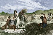 European Artwork Photo Posters - Early Humans Harvesting Crops Poster by Sheila Terry