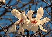 White Magnolias Posters - Early magnolias Poster by Janice Drew