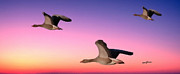 Geese Digital Art Posters - Early Morning Flight Poster by Anthony Caruso