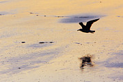 Flying Seagull Art - Early Morning Flight by Rick Berk
