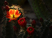 Hedgehog Cactus Prints - Early Morning Glow  Print by Saija  Lehtonen