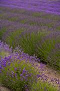 Lavender Framed Prints - Early Morning Lavender Framed Print by Mike Reid
