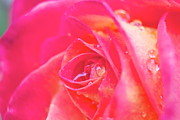 Early Morning Rose Print by Ashley Balkan