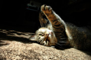 Tabby Cat Photos - Early Morning Stretch by Emily Stauring
