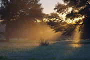 Southern Province Art - Early Morning Sun Beams Through Branches Of A Tree by Heinrich van den Berg