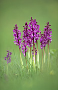 Variable Focus Prints - Early Purple Orchids (orchis Mascula) Print by Adrian Bicker