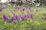 Early Photo Prints - Early Purple Orchids (orchis Mascula) Print by Bob Gibbons