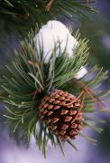 Selection Posters - Early Snow On Pine Tree Branch With Poster by Natural Selection Craig Tuttle