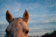 Equine Photographs Posters - Ears up Poster by Toni Hopper