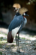 African Saint Prints - East African Crowned Crane Print by Chris  Brewington Photography LLC