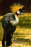 Wildlife Pics Framed Prints - East African Crowned Crane Pose Framed Print by Bill Tiepelman
